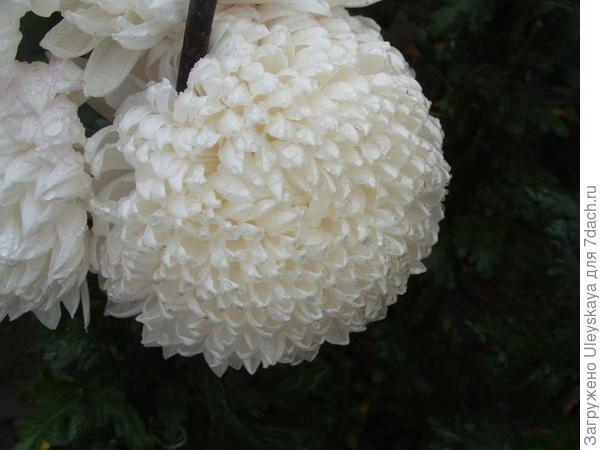 Хризантема садовая сорт Milka White