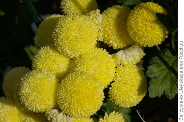 Хризантема садовая сорт Ping Pong Yellow