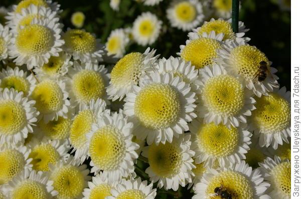 Хризантема садовая сорт Puma White