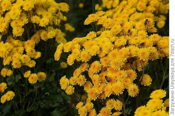 Хризантема садовая сорт Stallion Yellow