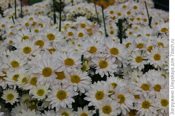 Хризантема садовая сорт Bacardi White