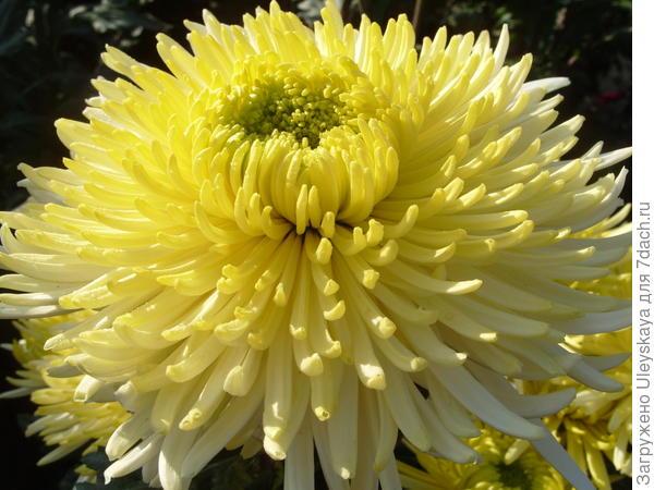Хризантема садовая сорт Sheena