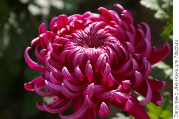 Хризантема садовая сорт Daily Mirror Violet