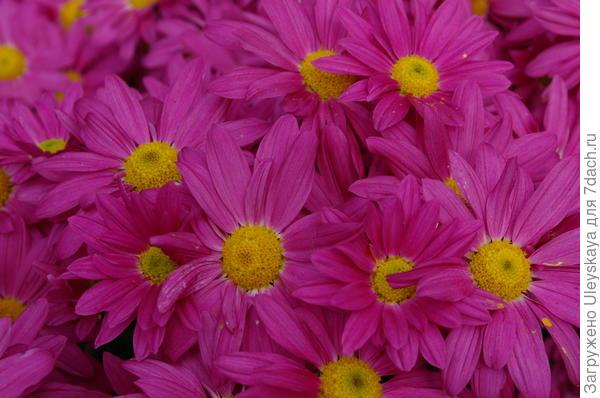 Хризантема садовая сорт Bacardi Pink