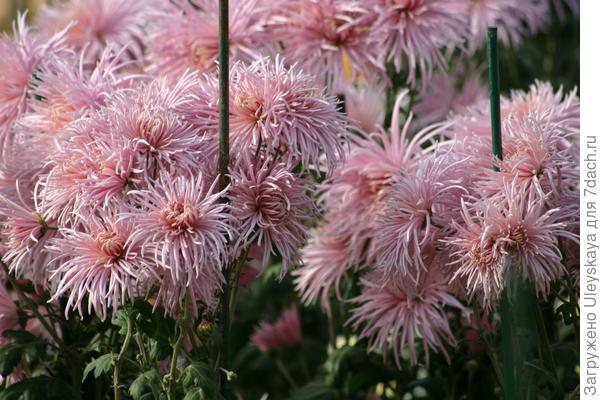 Хризантема садовая сорт Rayonnante Pink