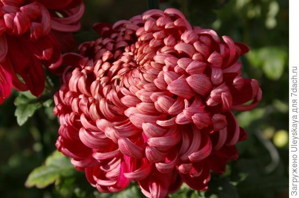 Хризантема садовая сорт Daily Mirror Bronze