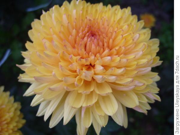 Хризантема садовая сорт Lorna Doone Salmonicolor