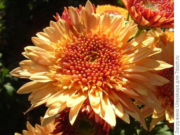 Хризантема садовая сорт Eleanor Bronze