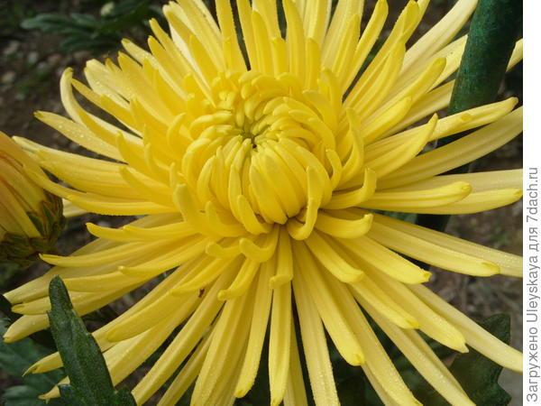 Хризантема садовая сорт Anastasia Sun