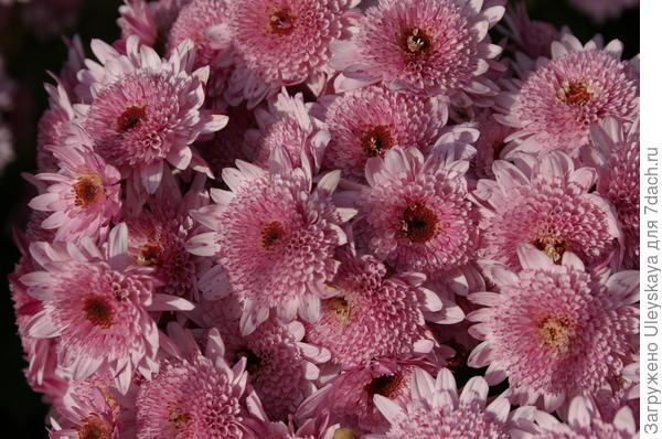 Хризантема садовая сорт Puma Pink