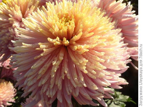 Хризантема садовая сорт Sheena Red