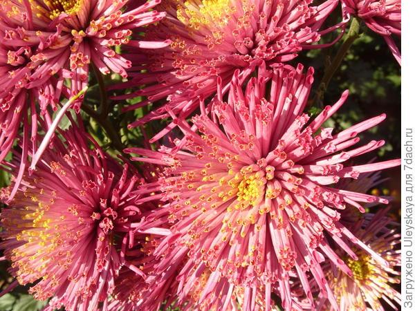 Хризантема садовая сорт Annecy Lilac