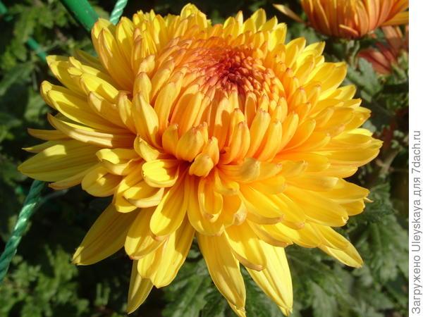 Хризантема садовая сорт Lorna Doone Yellow
