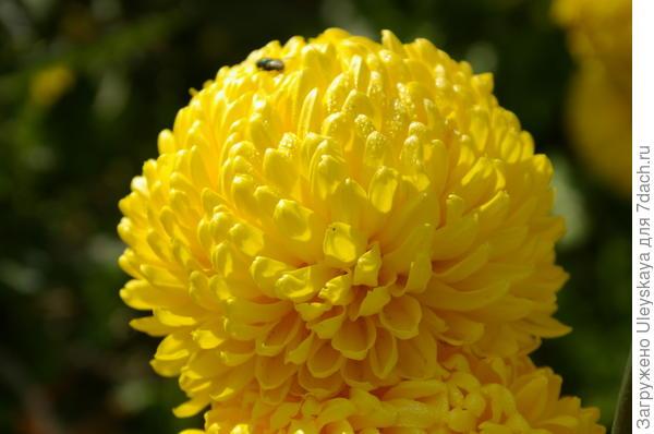 Хризантема садовая сорт Creamiest Yellow