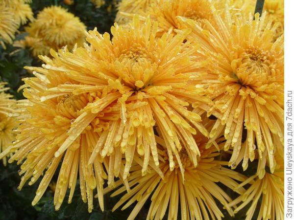 Хризантема садовая сорт Dalystar Yellow