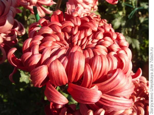 Хризантема садовая сорт Demurral Red