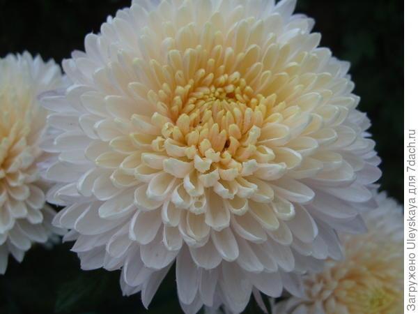 Хризантема садовая сорт Lorna Doone