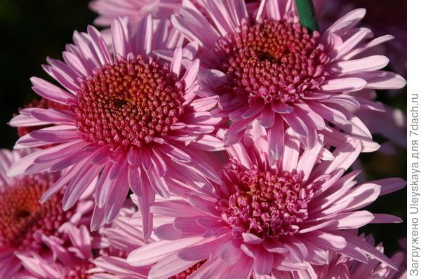 Хризантема садовая сорт Eleanor Pink