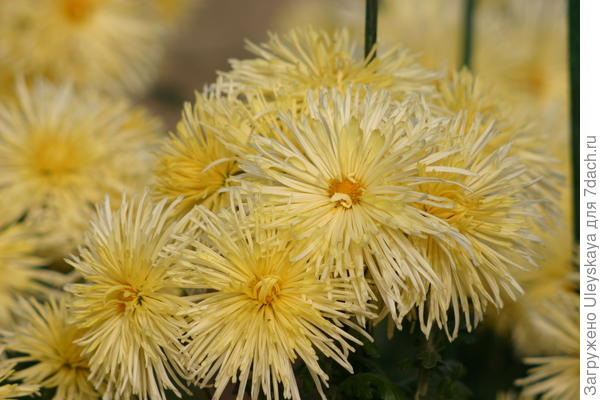Хризантема садовая сорт Rayonnante Gelb