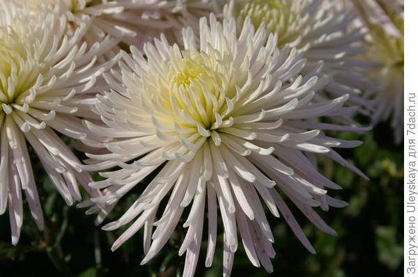 Хризантема садовая сорт Anastasia