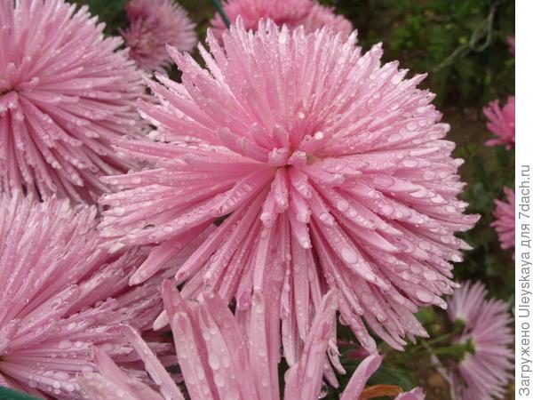 Хризантема садовая сорт Anastasia Lilac