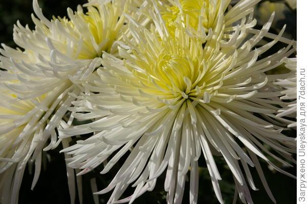 Хризантема садовая сорт Dalystar
