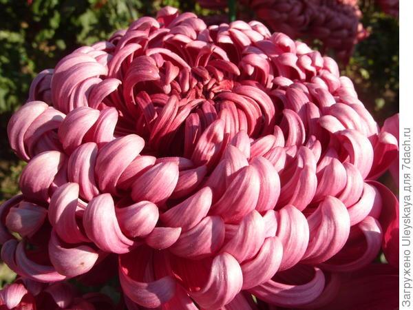 Хризантема садовая сорт Demurral Lilac