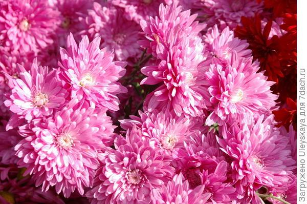 Хризантема садовая сорт Mount Lanin