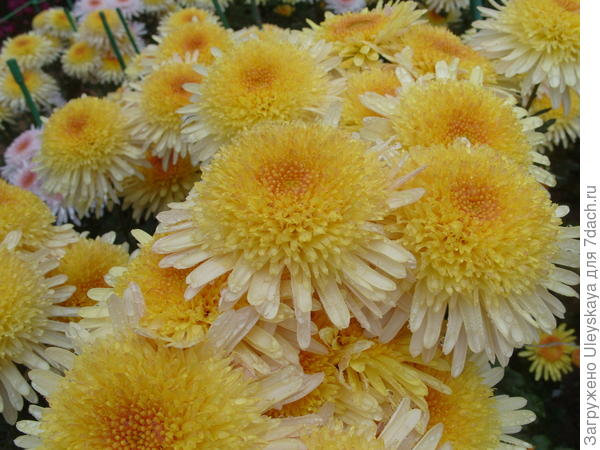 Хризантема садовая сорт Eleanor Yellow