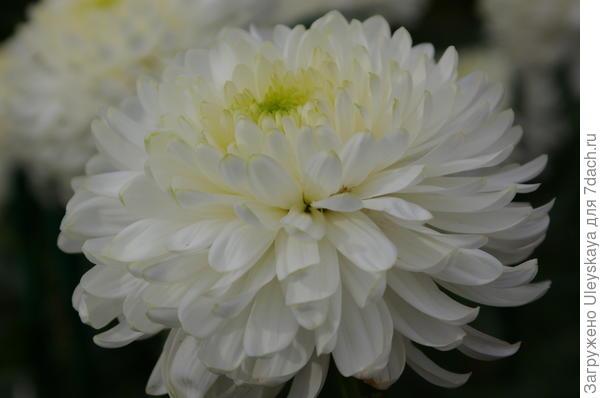 Хризантема садовая сорт Zembla White