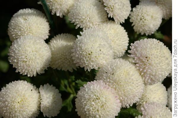 Хризантема садовая сорт Ping Pong
