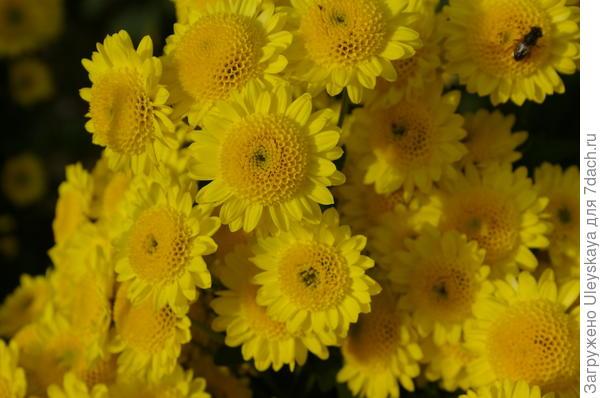 Хризантема садовая сорт Puma Yellow