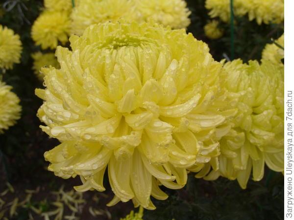 Хризантема садовая сорт Polisadena Yellow