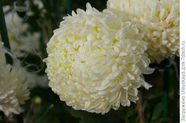 Хризантема садовая сорт Creamiest White