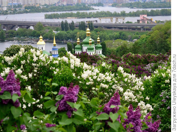 Сад сирени в Киеве, фото сайта gaid.in.ua
