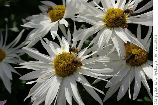 Хризантема садовая сорт Крымская Ромашка