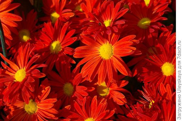 Хризантема садовая сорт Победа