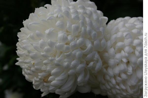 Хризантема садовая сорт Reflex