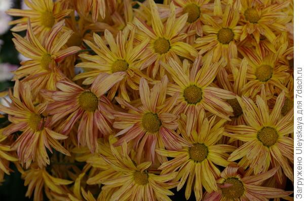 Хризантема садовая сорт Брызги Моря