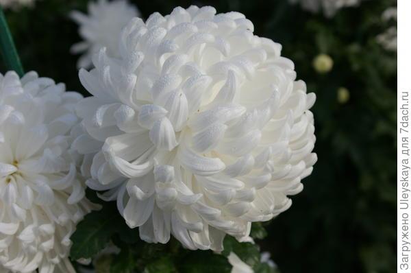 Хризантема садовая сорт Ribonet