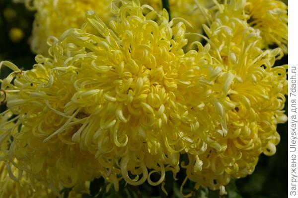 Хризантема садовая сорт Пусть всегда будет солнце