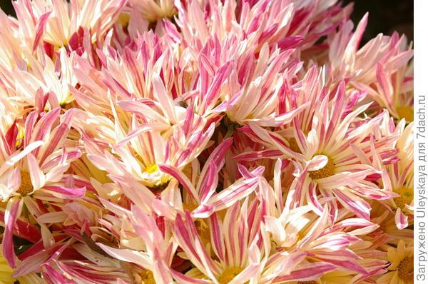 Хризантема садовая сорт Незнакомка