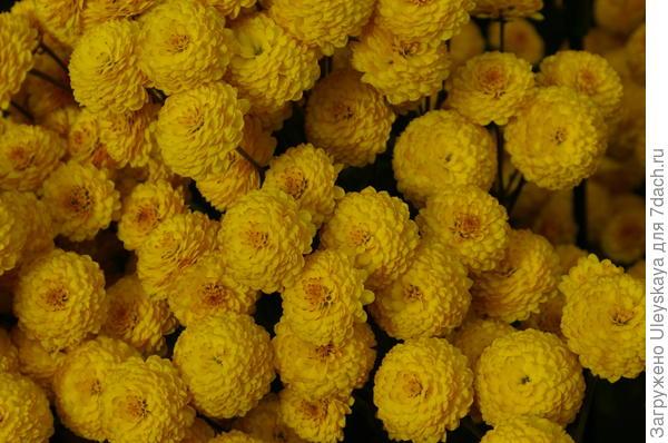 Хризантема садовая сорт Cappuccino