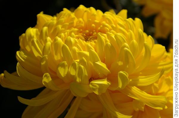 Хризантема садовая сорт Victor Rover