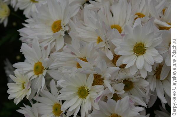 Хризантема садовая сорт Харита