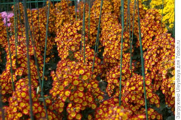 Хризантема садовая сорт Пчёлка