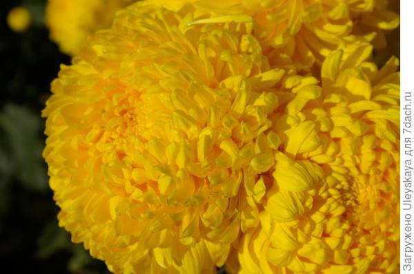 Хризантема садовая сорт Апельсиновый Шар