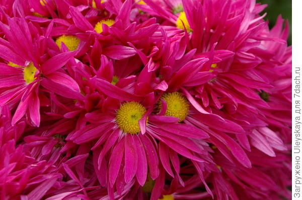 Хризантема садовая сорт Bossa Time