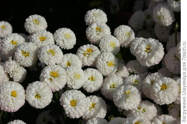Хризантема садовая сорт Gipsofila