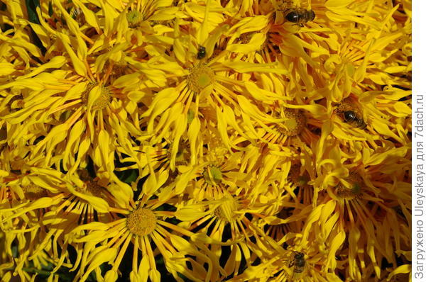 Хризантема садовая сорт Без названия